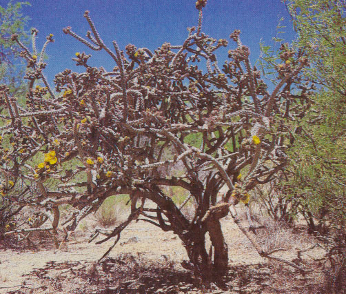 staghorn cholla with flowers