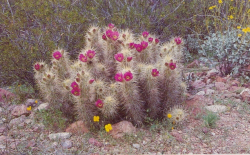 hedgehog cactus with flowers